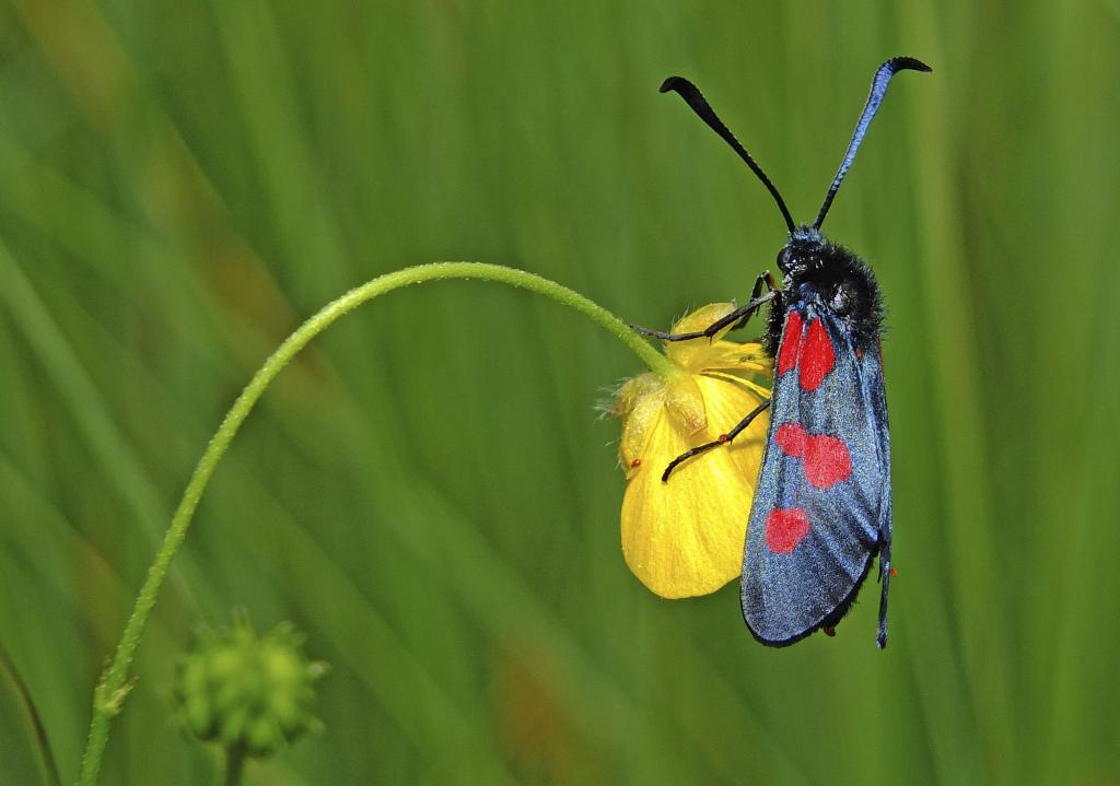 Five-spot burnet (Zygaena trifolii) feeding on buttercup, Commended 2014 Photography Competition Insects Alive category