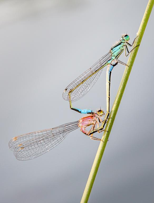 <p>Coupled blue-tailed damselflies, Commended 2014 NIW Photography Competition Insects Alive category</p>