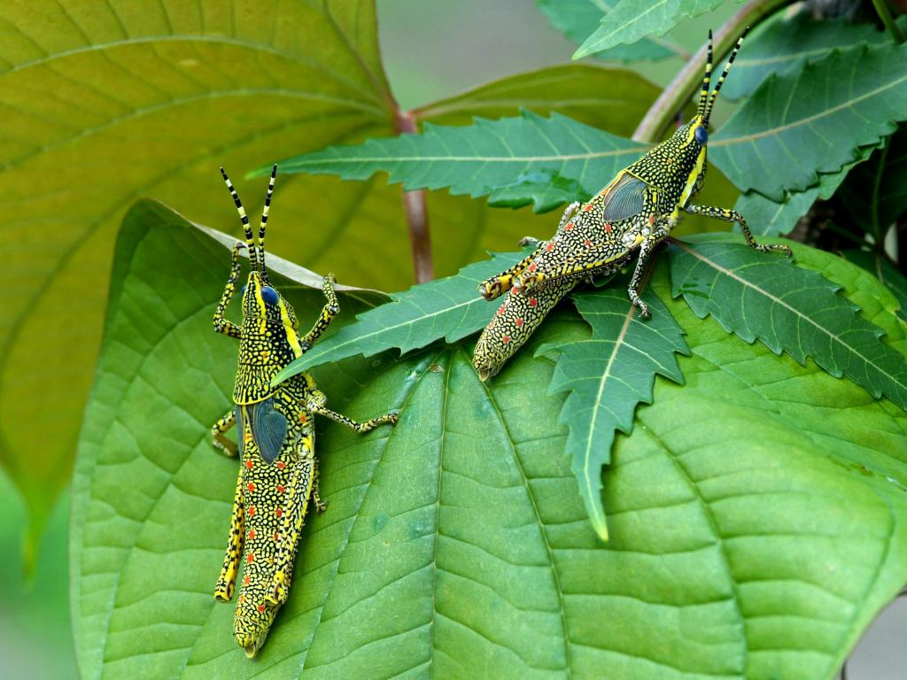 Grasshopper nymphs, Commended in 2014 NIW Photography Competition Small is Beautiful category