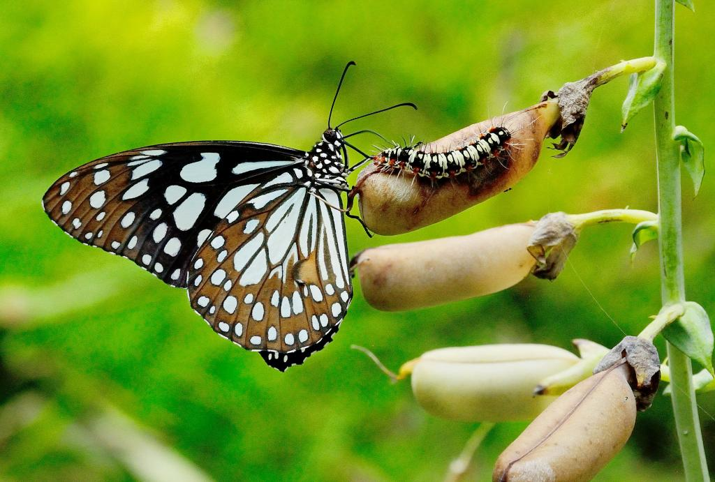 Male blue tiger butterfly with tiger moth caterpillar on Crotalaria pods, Commended 2014 NIW Photography Competition Insects Alive category