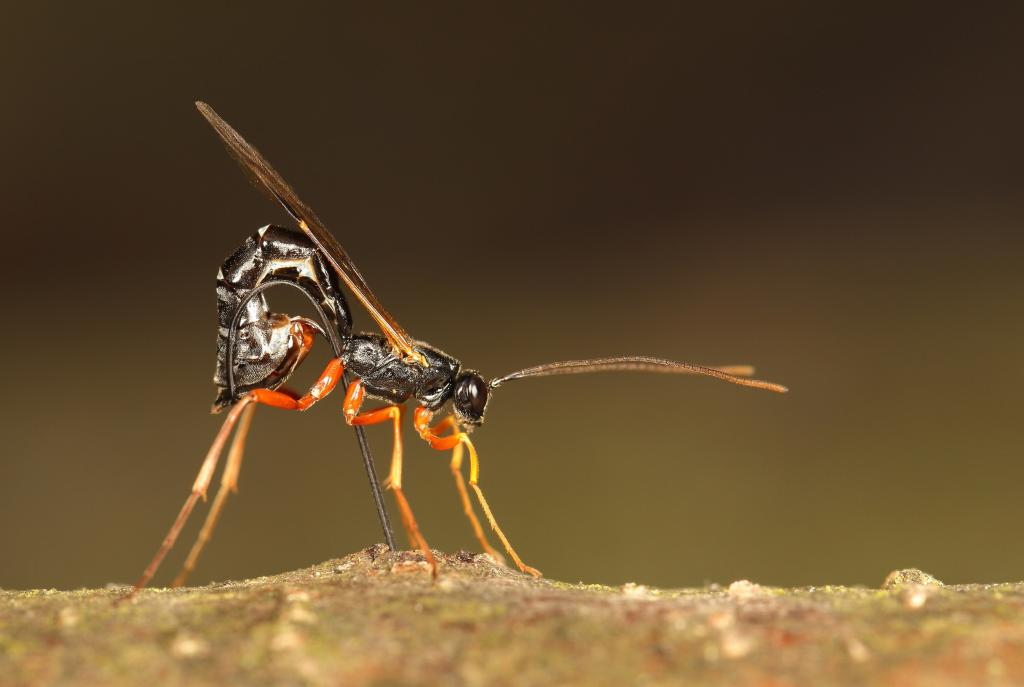 Manganese drill bit, Specially Commended 2014 NIW Photography Competition Insects Alive category
