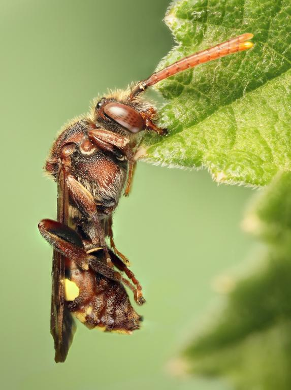 <p>Sleeping Nomada, Commended 2014 NIW Photography Competition Insect Alive category</p>