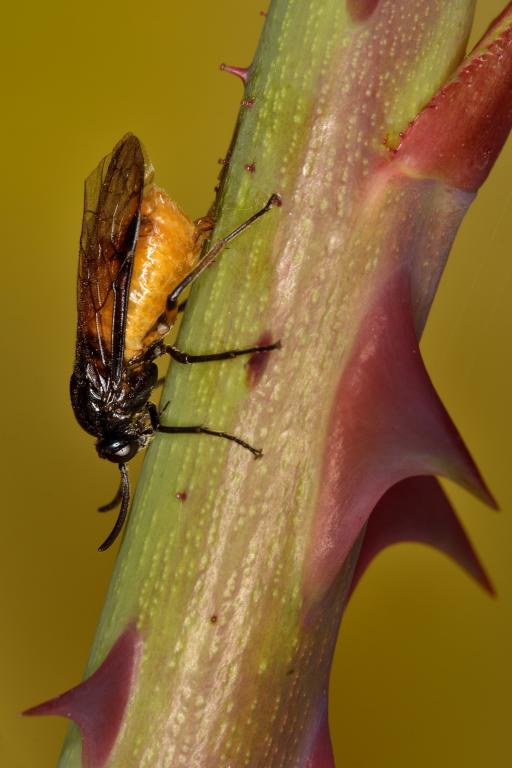 Large rose sawfly laying eggs, Commended 2014 NIW Photography Competition Insects Alive