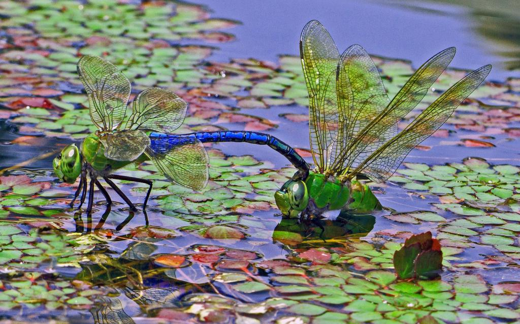 Life in the lilypads, Specially Commended 2014 NIW Photography Competition Insects Alive