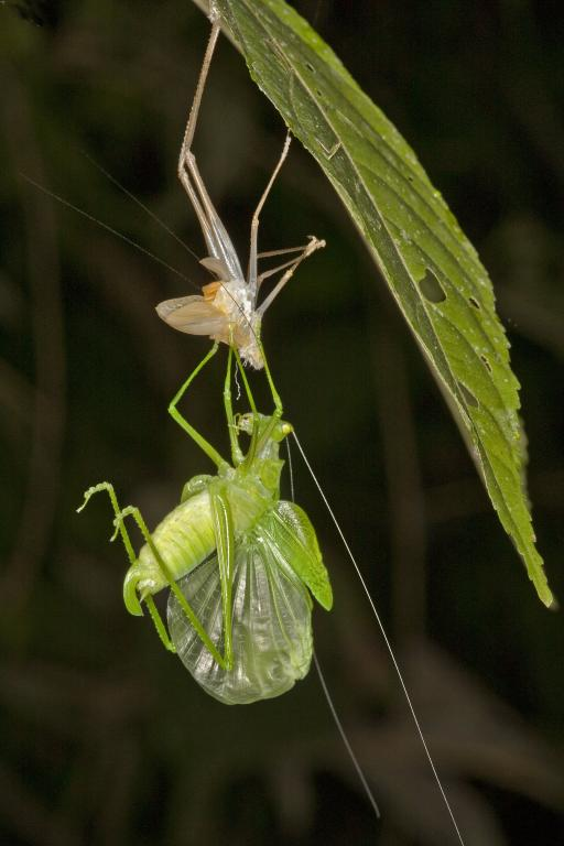<p>A katydid completes its moult, Commended 2014 NIW Photography Competition Insects Alive category</p>