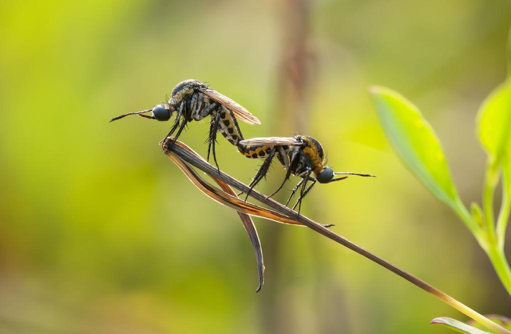 Mate, Commended 2014 NIW Photography Competition Insects Alive category
