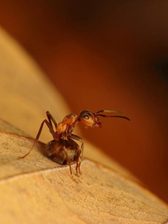 Ant, Formica sp., Second Prize 2010 NIW Photography Competition adult category