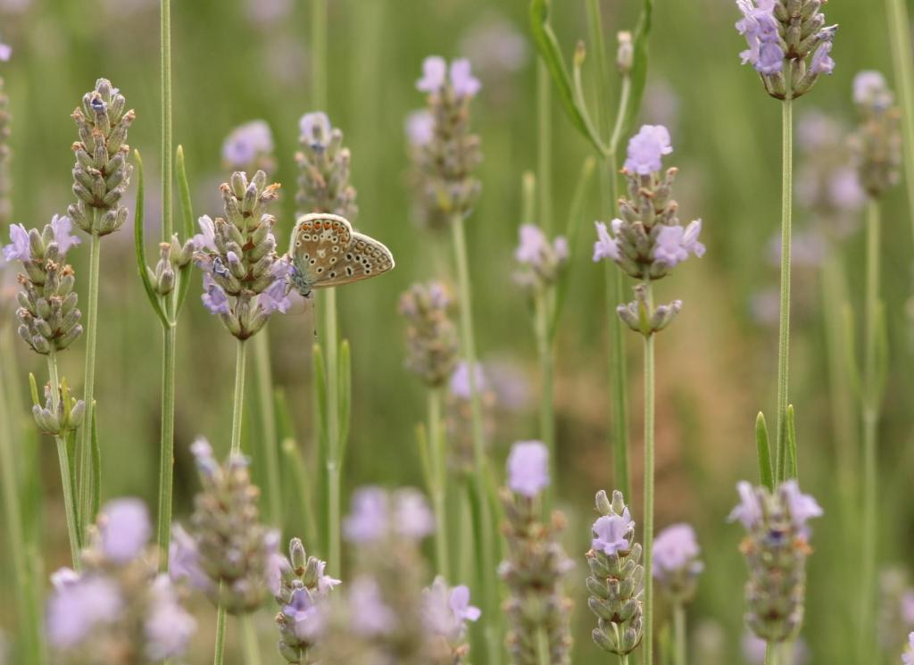 Common blue butterfly, Polyommatus icarus, on lavender, Commended 2010 NIW Photography Competition adult category