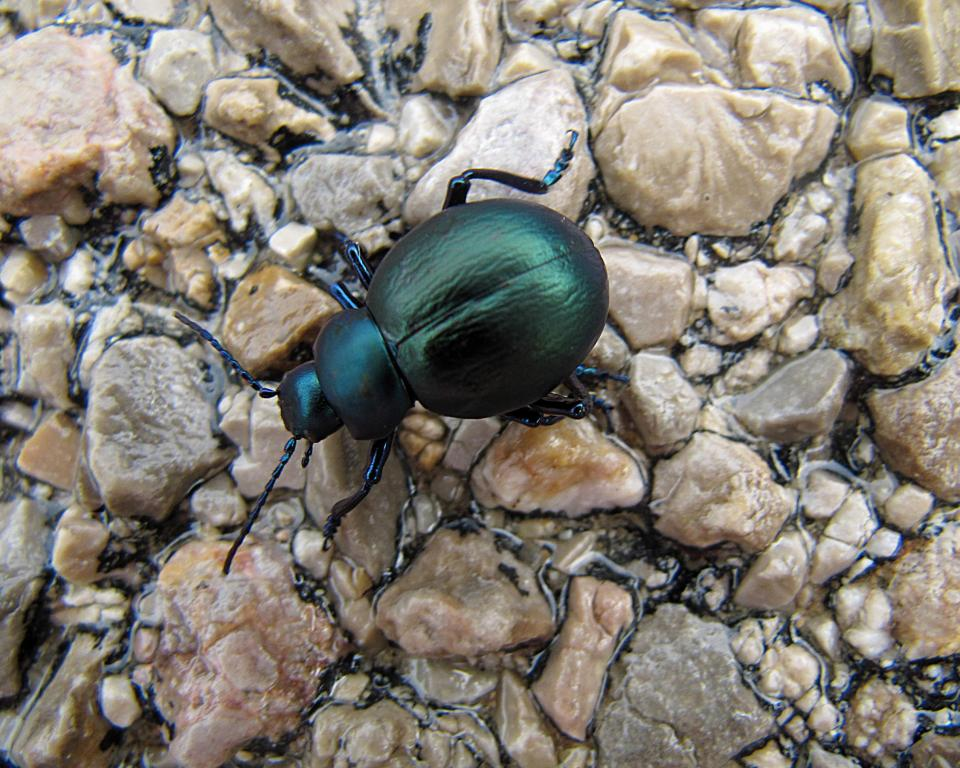 Beetle on wet pavement, Mallorca, Commended 2010 NIW Photography Competition adult category