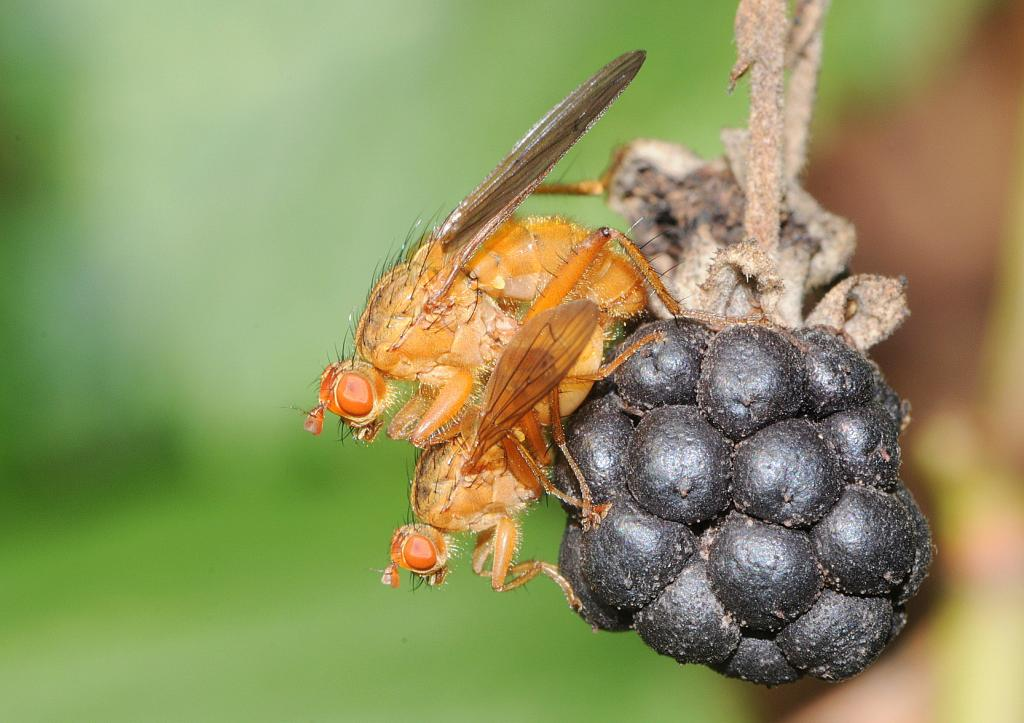 Pair of dung-flies, Scathophaga sp., on blackberry, Commended 2010 NIW Photography Competition adult category