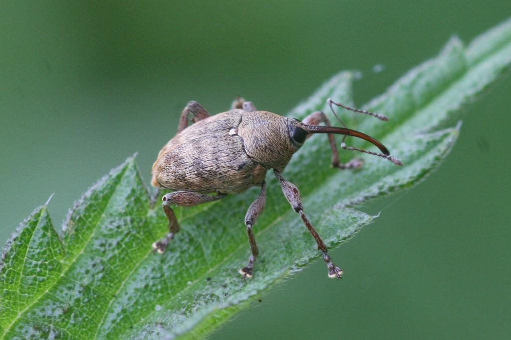 Weevil on a leaf, Commended 2010 NIW Photography Competition adult category