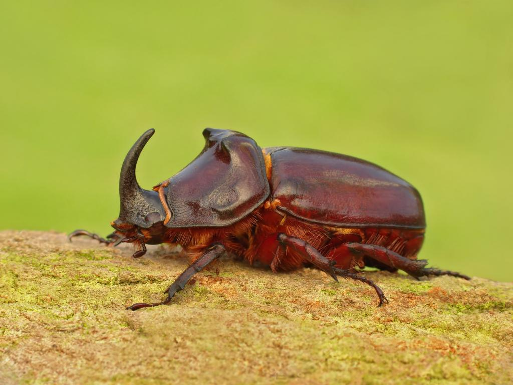 European Rhinoceros beetle, Oryctes nasicornis, Specially Commmended 2010 NIW Photography Competition adult category