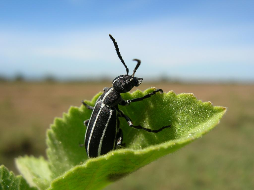 Blister beetle (Meloidae), Specially Commended 2010 NIW Photography Competition adult category
