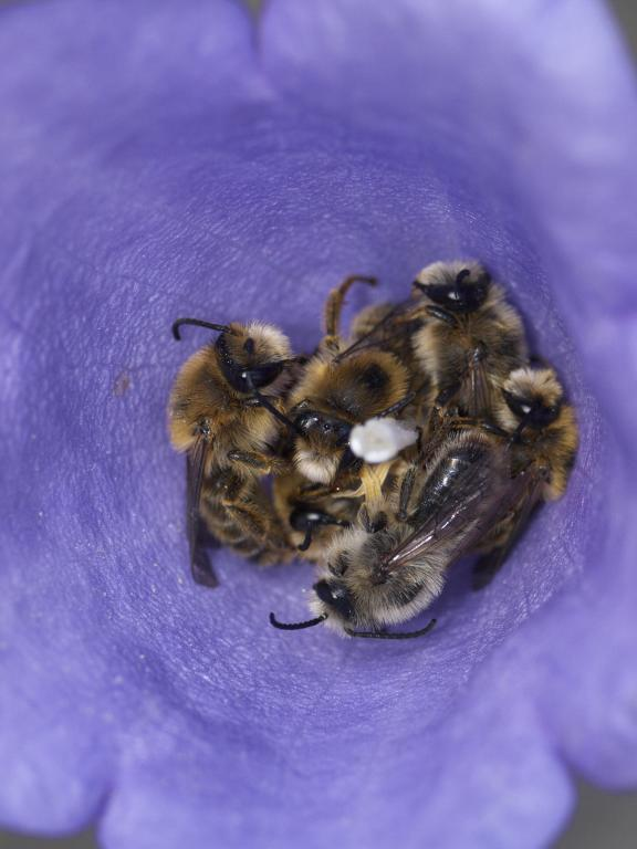 Male solitary bees, Melitta haemorrhoidalis, shelter in a Campanula flower overnight, Specially Commended 2010 NIW Photography Competition adult category