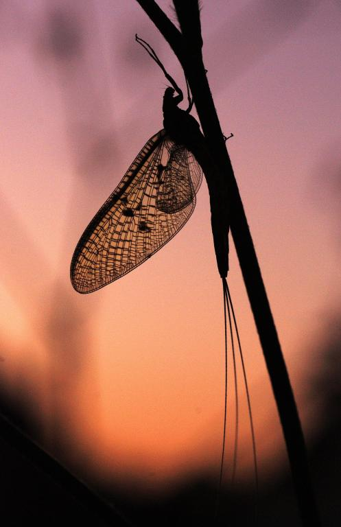 Adult mayfly at sunset, First Prize 2010 NIW Photography Competition riverfly category