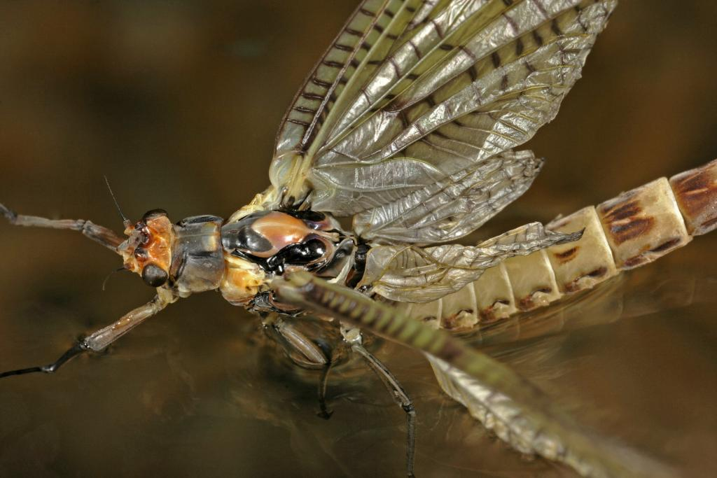 Adult mayfly on water, Second Prize 2010 NIW Photography Competition riverfly category