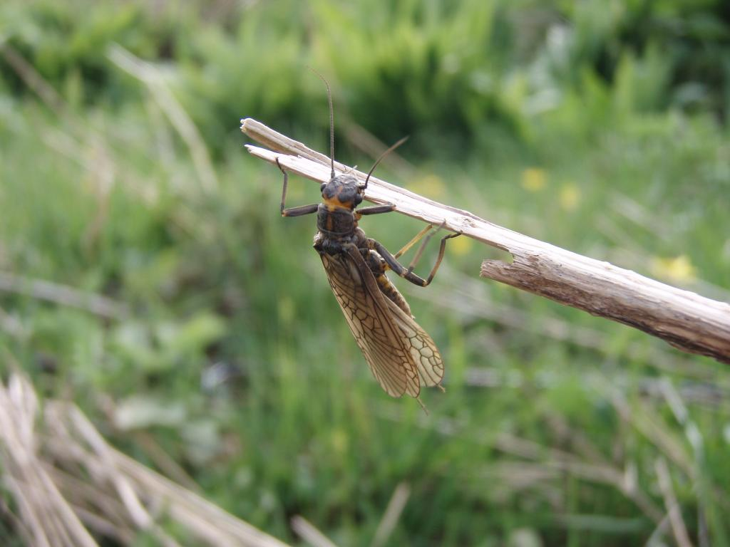 Stonefly, River Annan, Dumfries & Galloway, UK, Commended 2010 NIW Photography Competition riverfly category