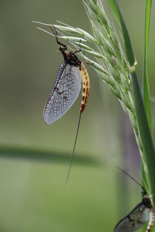 Mayfly on grass head, Commended 2010 NIW Photography Competition riverfly category