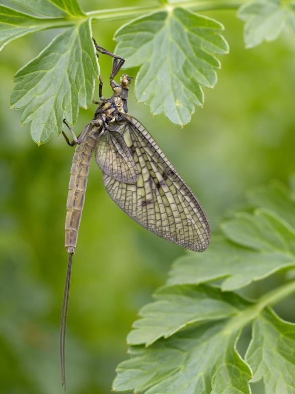 Female mayfly Ephemera vulgata, Specially Commended 2010 NIW Photography Competition riverfly category