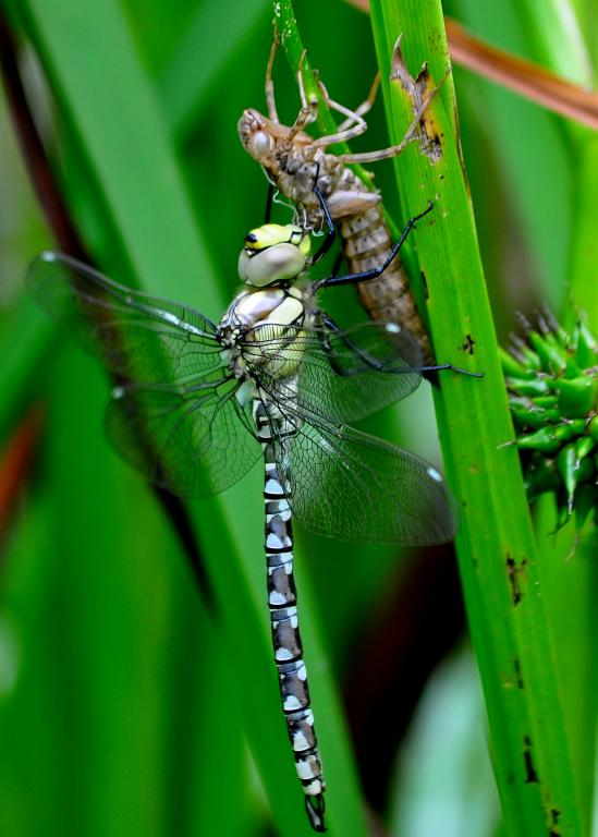 Southern Hawker dragonfly, Aeshna cyanea, First Prize 2010 NIW Photography Competition under 18 category