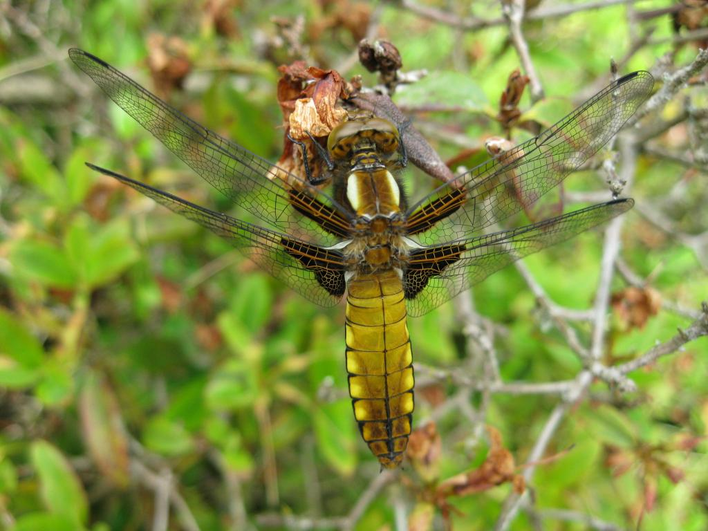 Broad-bodied chaser, Libellula depressa, Second Prize 2010 NIW Photography Competition under 18 category
