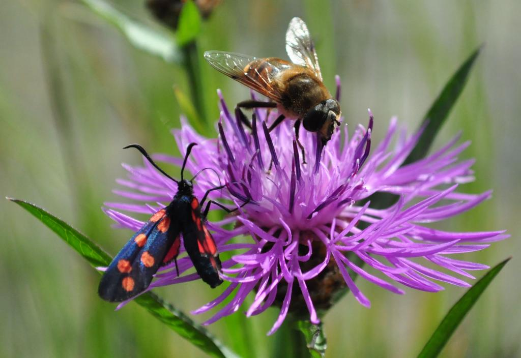 6-spot burnet moth, Zygaena filipendulae, and common drone fly, Eristalis tenax, on brown knapweed, Specially Commended 2010 NIW Photography Competition under 18 category