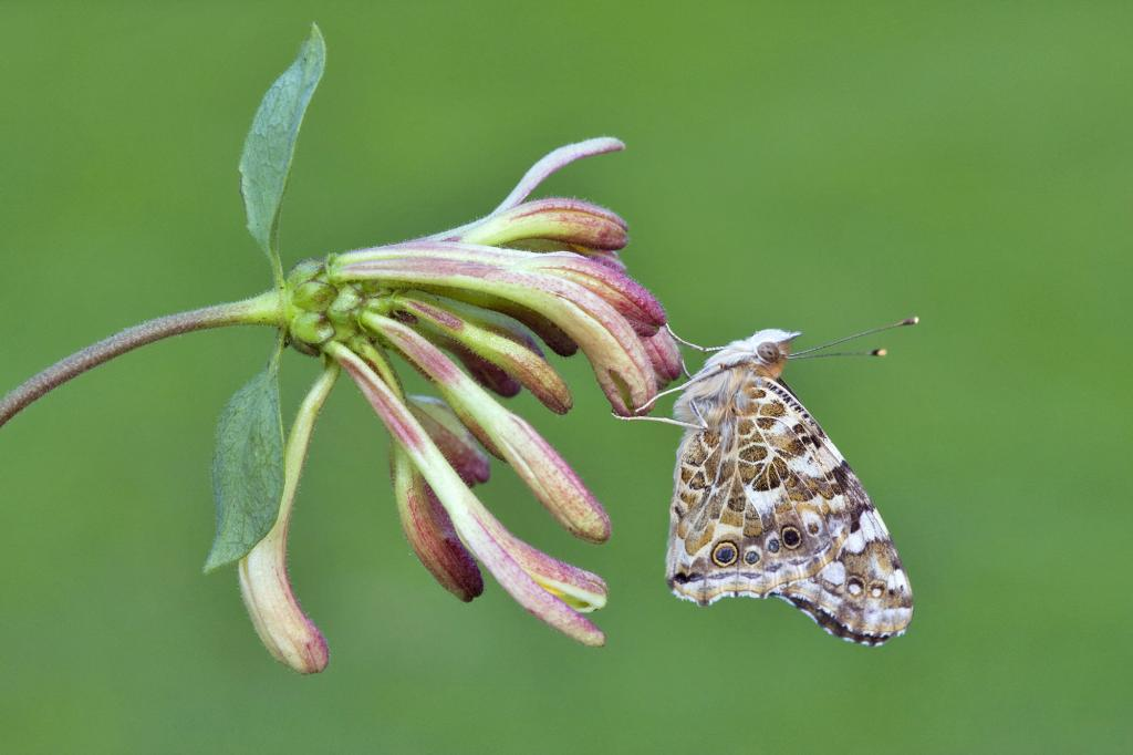 Painted Lady butterfly, Vanessa cardui, on honeysuckle, Commended 2012 NIW Photography Competition adult category