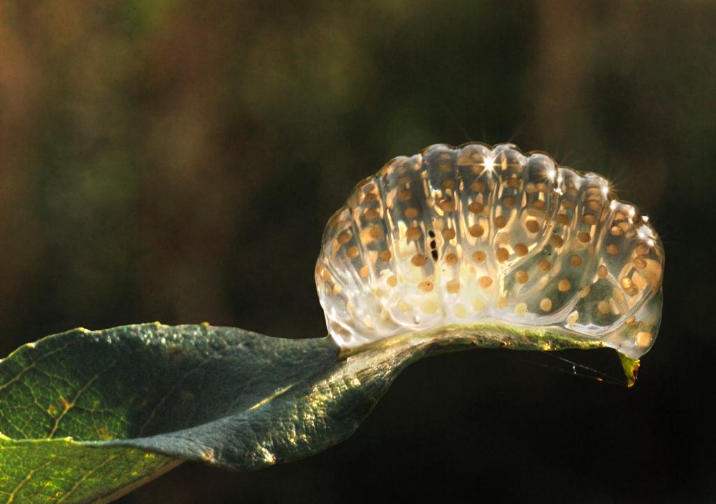 <p>Caddis fly egg mass on leaf overhanging water, 2nd Prize 2012 NIW Photography Competition riverfly category</p>