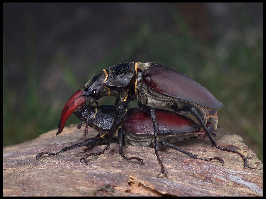 <p>Mating stag beetles, <em>Lucanus cervus</em>, Commended 2012 NIW Photography Competition adult category</p>