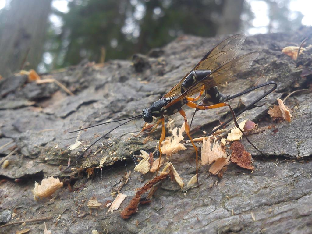<p>Ichneumonid wasp on bark, Specially Commended 2012 NIW Photography Competition adult category</p>