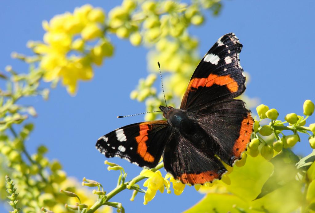 <p>Red Admiral butterfly, <em>Vanessa atalanta</em>, on Mahonia, Commended 2012 NIW Photography Competition adult category</p>