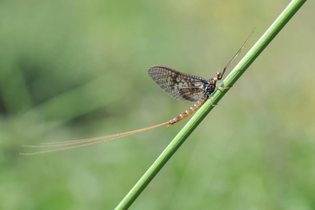 <p>Mayfly, Commended 2012 NIW Photography Competition riverfly category</p>