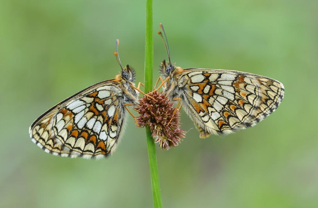 Roosting heath fritillary butterflies, Melitaea athalia, on rush stem. Commended 2012 NIW Photography Competition adult category