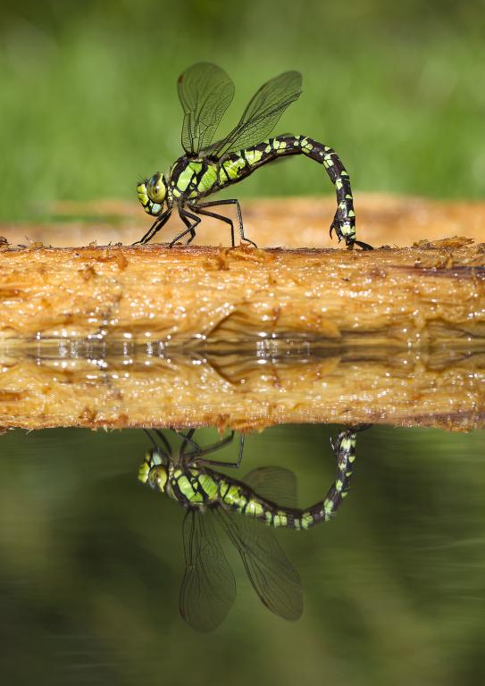 <p>Female southern hawker dragonfly, <em>Aeshna cyanea</em>, ovipositing on rotten log, reflected in water, Commended 2012 NIW Photography Competition adult category</p>