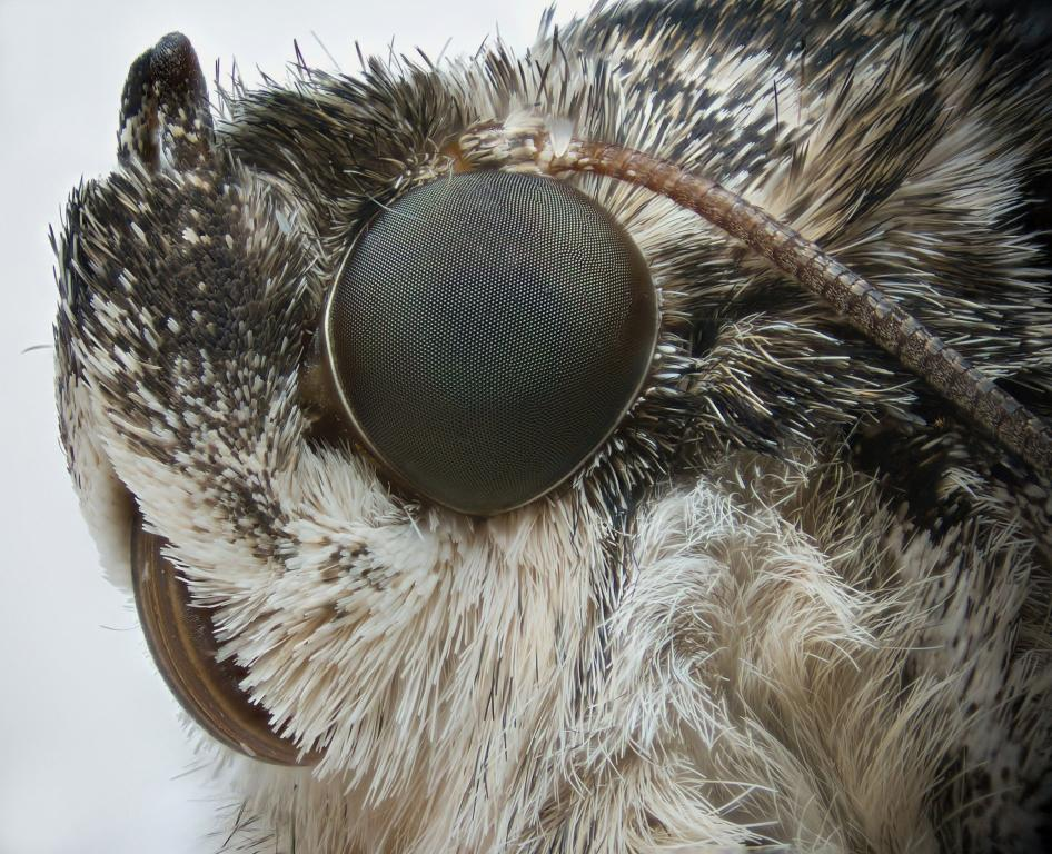 Red Underwing moth, Catocala nupta, Commended 2012 NIW Photography Competition adult category