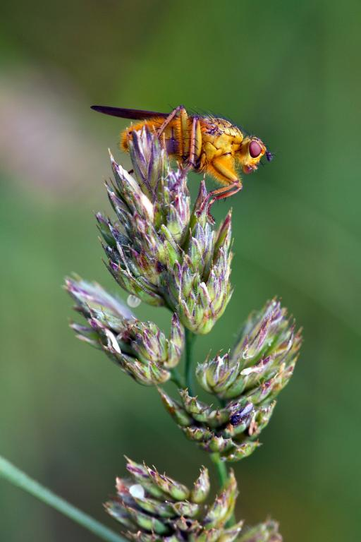 <p>Yellow dung fly, <em>Scathophaga stercoraria</em>, Commended 2012 NIW Photography Competition adult category</p>