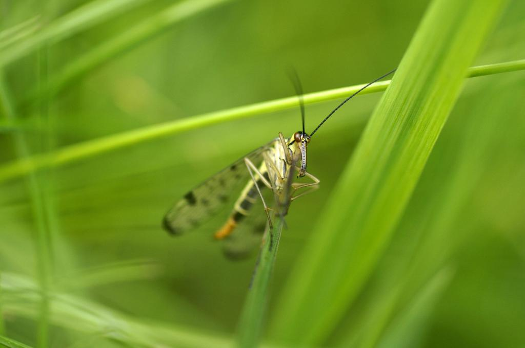 <p>Scorpion Fly, <em>Panorpa communis</em>, 2nd Prize 2012 NIW Photography Competition under 18 category</p>