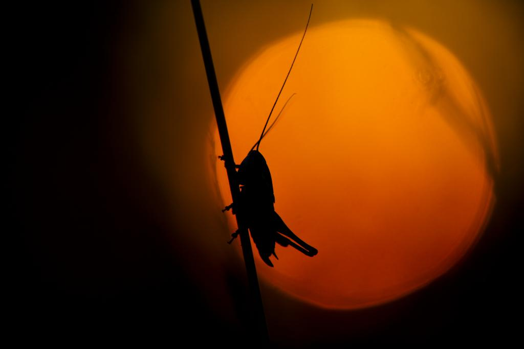 Roesel's Bush-cricket, Metrioptera roeselii, at dusk, Commended 2012 NIW Photography Competition adult category