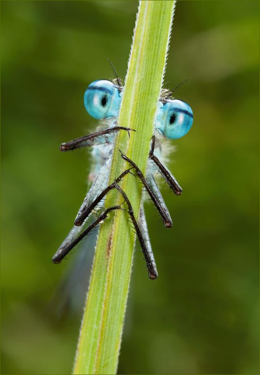 <p>Male common blue damselfly, <em>Enallagma cyathigerum</em>, Specially Commended 2012 NIW Insect Photography Competition adult category</p>