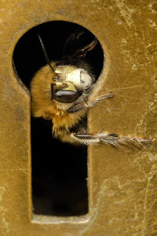 <p>Hairy-footed flower bee, <em>Anthophora plumipes</em>, looking through the keyhole, First Prize&nbsp;2012 Photography Competition adult category</p>