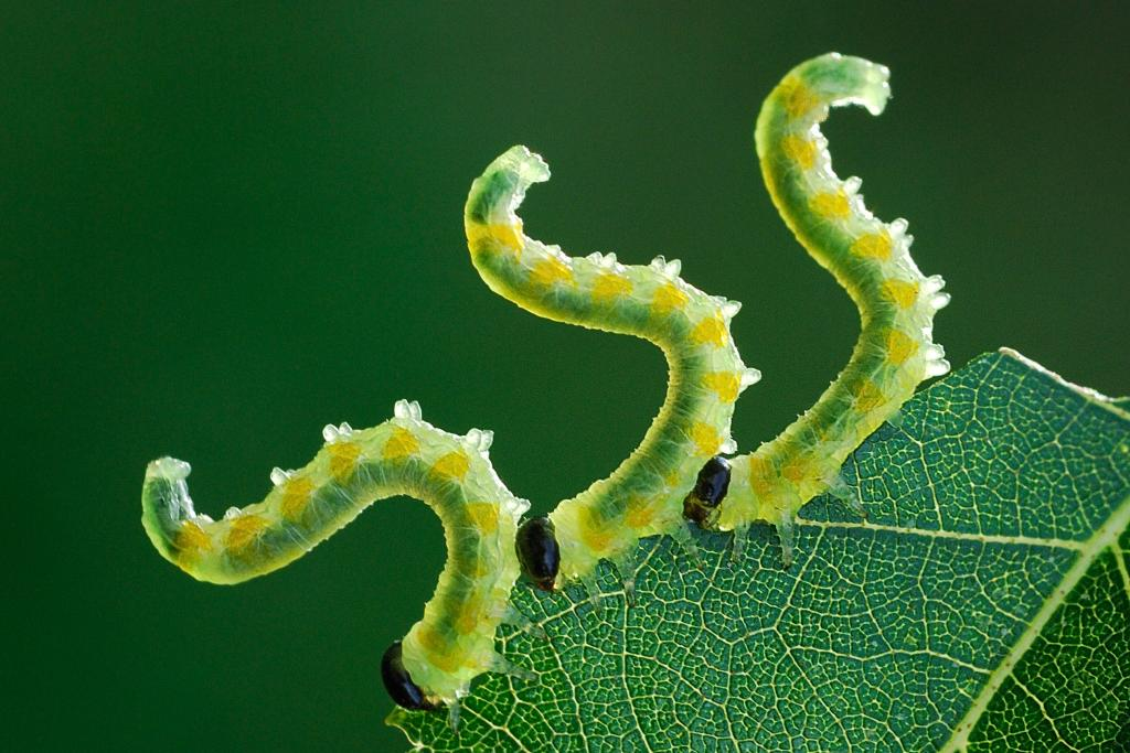 Three sawfly larvae, Pristiphora testacea, eating a birch leaf, Commended 2012 NIW Photography Competition adult category