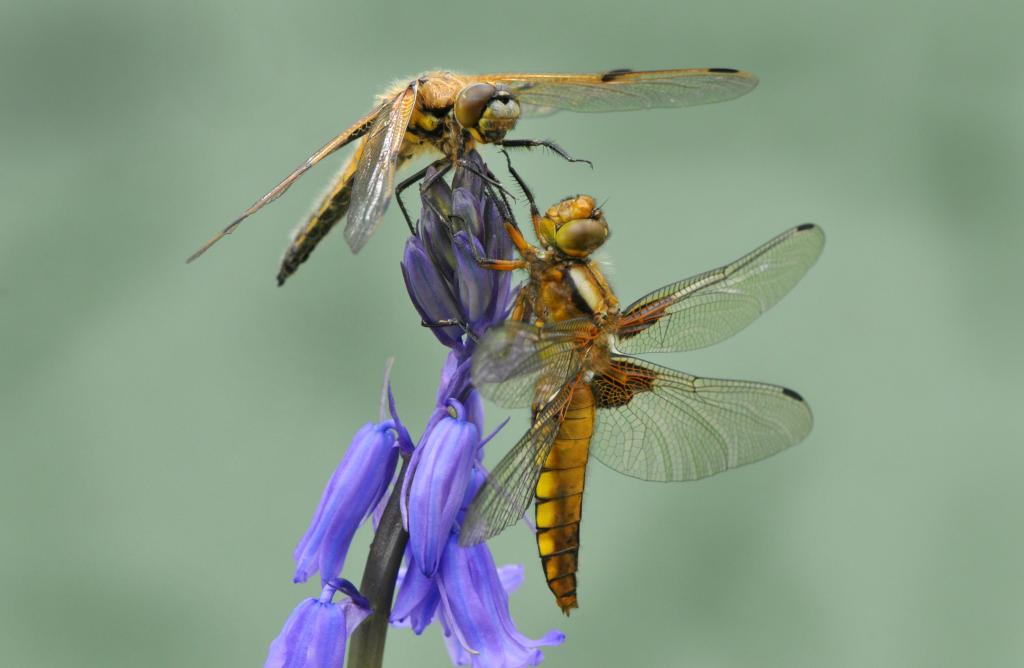 <p>Four-spotted chaser dragonfly sparring with broad-bodied chaser dragonfly, Winsor, New Forest UK, Commended 2014 NIW Photography Competition Insects Alive category</p>