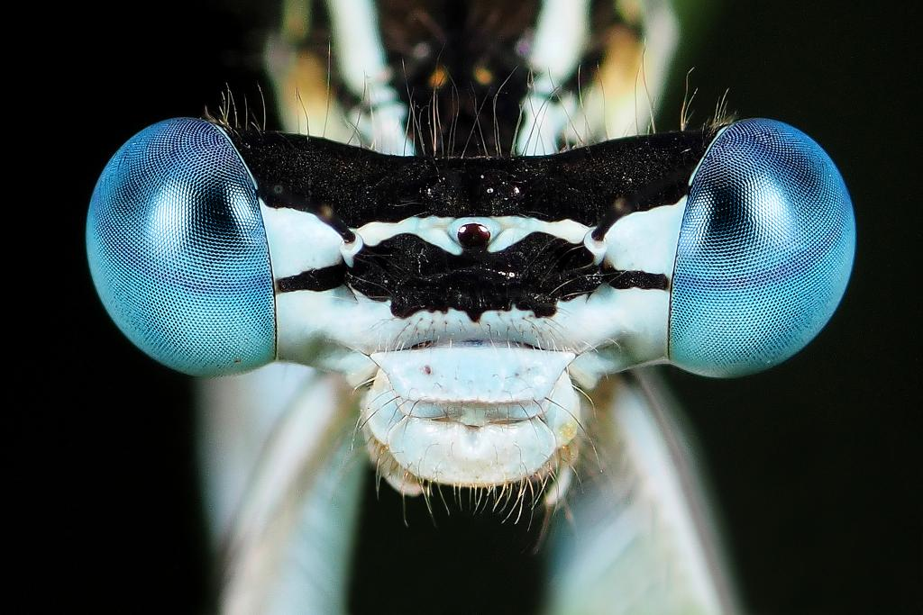 Close up of damselfly eyes in Genemuiden, Netherlands. Commended 2014 NIW Photography Competition Small is Beautiful category