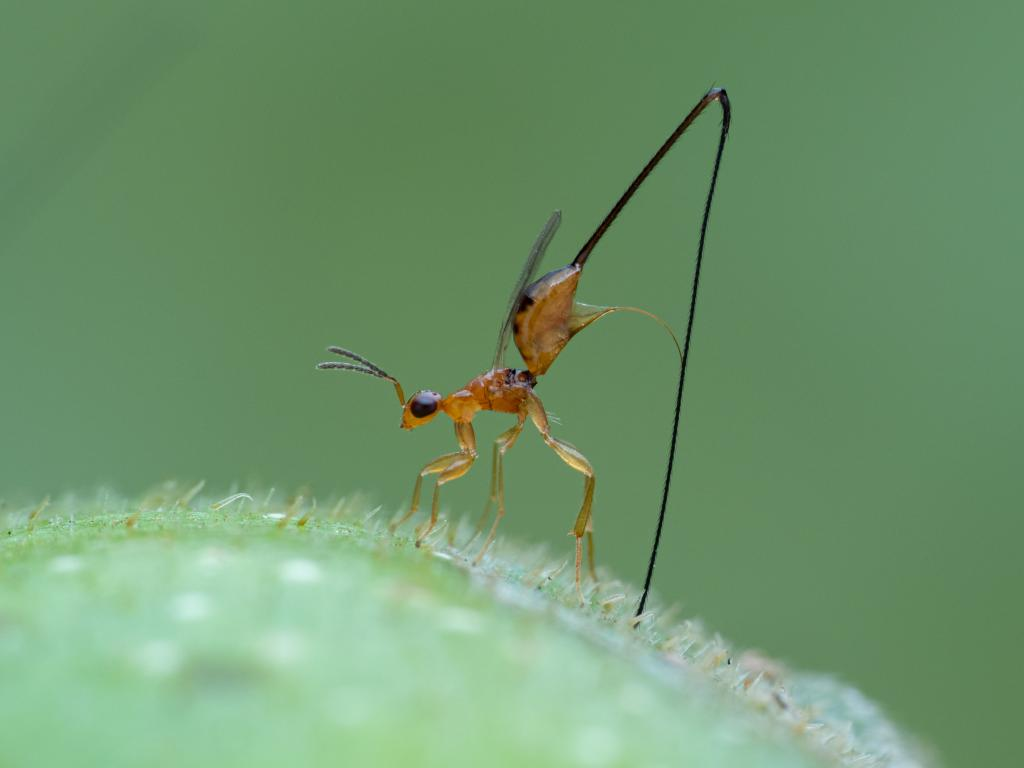Highly Commended -Kit Chang (Macao S.A.R.) Ovipositing