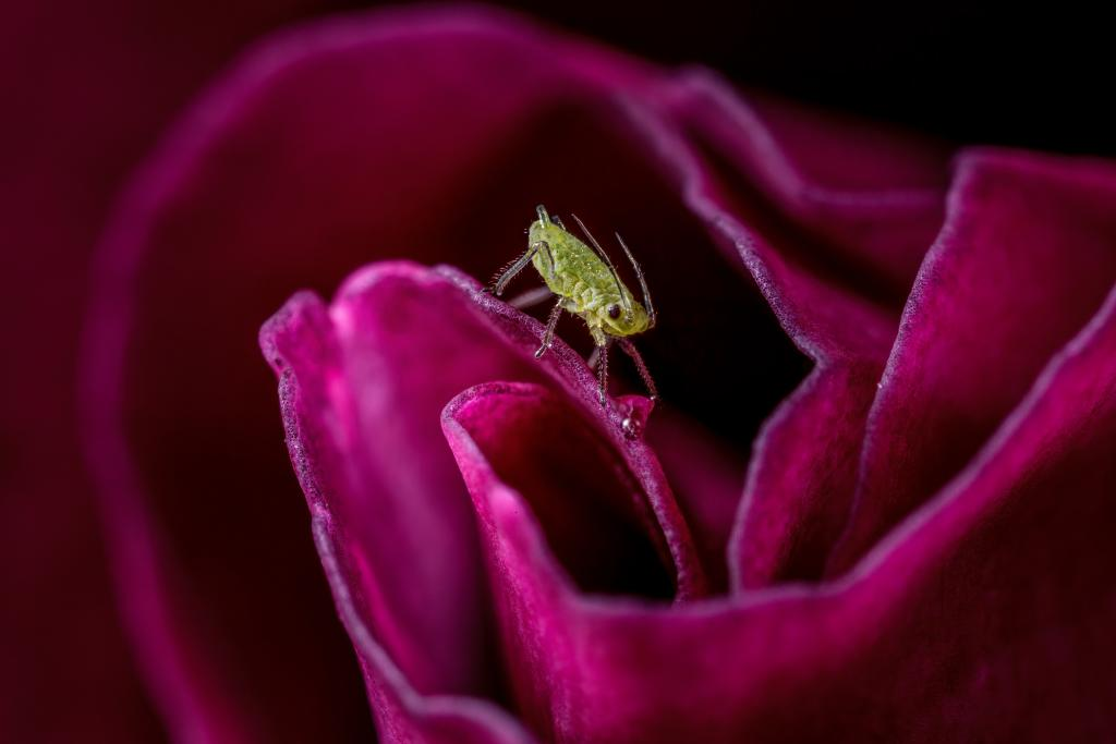 Specially Commended -Tim Crabb (UK) Rose aphid on a rose blossom