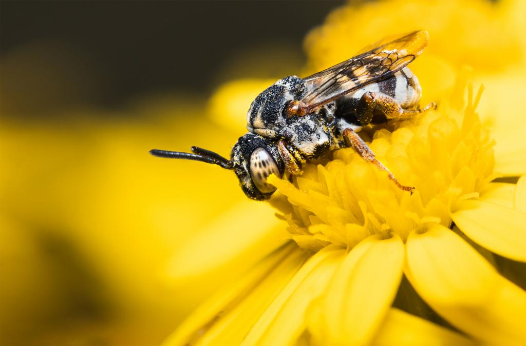 2nd place - Jamie Spensley (UK) An Epeolus spp bee on common ragwort