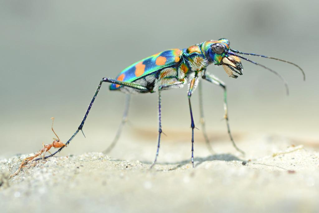 The last fight. Tiger beetle and weaver ant, Specially Commended