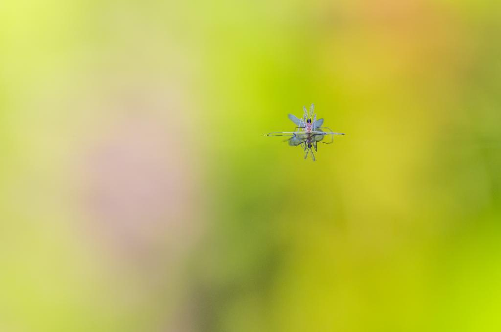 Floating on colour,a male gall midge, Commended