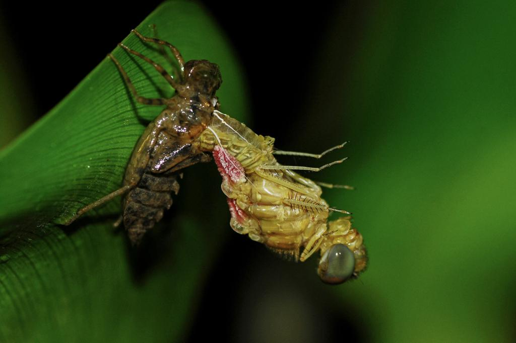Metamorphosis - a dragonfly emerging, Commended