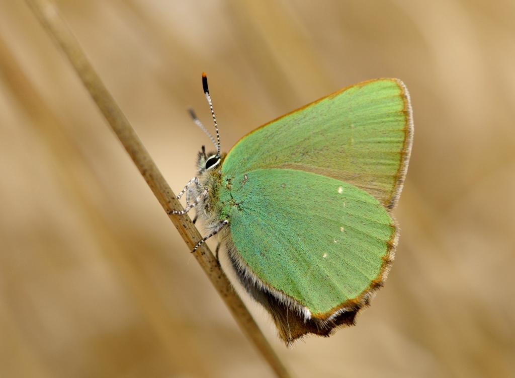<p>Green Hairstreak, Commended</p>